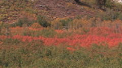 Camera pans view of fall foliage in the mountains of northern Nevada Stock Footage