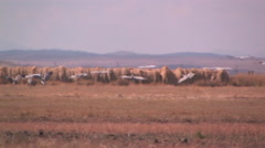 Migrating Sandhill Cranes land in a stubble field Stock Footage