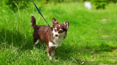 Stock Video Footage of Chihuahua Small Dog in Green Grass