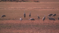 Sandhill cranes vocalize in a field while blackbirds land all around them Stock Footage