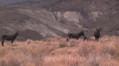 Wild buros in a remote area of Nevada Stock Footage