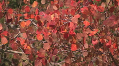 Fall foliage in the mountains of northern Nevada Stock Footage