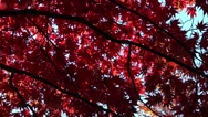Stock Video Footage of Brightly coloured Autumn leaves