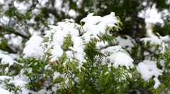 Snow falls on snowy green thuja branch in winter Stock Footage