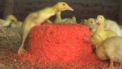 Duckling makes it to the top of the red carrot heap Stock Footage