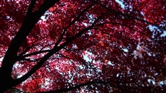 Brightly coloured Autumn leaves Stock Footage