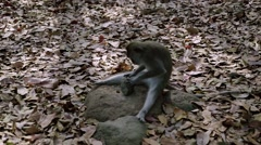 Long-tailed macaque - stock footage