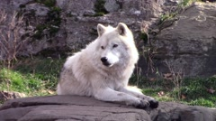 Resting Arctic Wolf Stock Footage