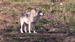 Timber Wolf Stock Footage