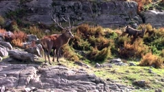 Wapiti on a cliff - stock footage