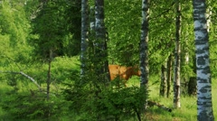 Red Cow Walking in the Forest Stock Footage
