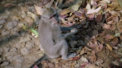 View of a Long-tailed macaque - stock footage