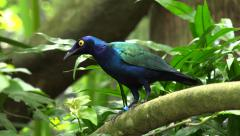 Purple Glossy Starling (Lamprotornis purpureus) Stock Footage