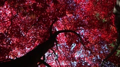 Brightly coloured Autumn leaves - stock footage