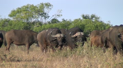 Large buffalo herd. Stock Footage