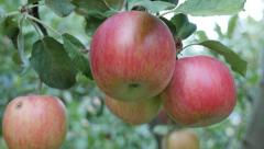 Fresh organic two color apples on the tree branch 4K 2160p 30fps UltraHD foot Stock Footage