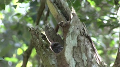 Barret-owlet Nightjar looking out of tree hole  Stock Footage