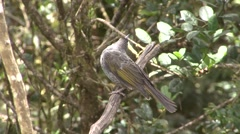 Belford's honeyeater perched on branch looking around  Stock Footage