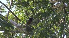 Blue Bird of Paradise feeding in tree Stock Footage