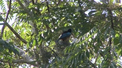 Blue Bird of Paradise feeding in tree Stock Footage