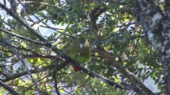 Brehm's Tiger Parrot feeding in tree Stock Footage