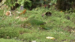 Brehm's Tiger Parrot feeding Stock Footage