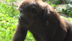Gorilla looking for food in the jungle. Stock Footage