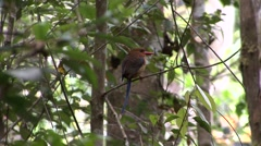 Brown-headed paradise Kingfisher perched in tree  Stock Footage
