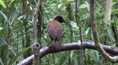Lawe's parotia females perched on branch Stock Footage