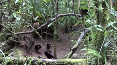 Lawe's parotia male and female moving in lek Stock Footage