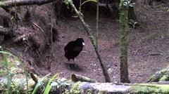 Lawe's parotia male displaying Stock Footage