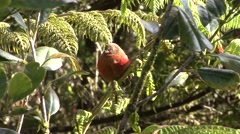 Mountain Firetail sits on branch Stock Footage