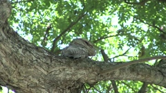 Papuan Frogmouth perched high up in tree Stock Footage