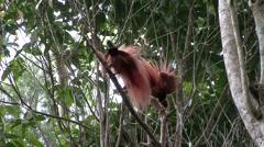 Raggiana bird of paradise males displaying on lek Stock Footage