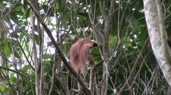 Raggiana bird of paradise males on lek Stock Footage