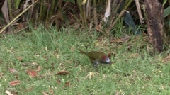 Rufous-naped Whistler forage on grass field Stock Footage