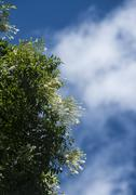 Stock Photo of Millingtonia hortensis flower with blue sky
