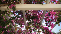 Pink bougainvillea against the sky Stock Footage