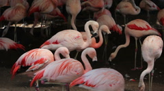 Pink Flamingos in a Zoo Stock Footage