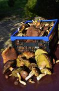 Stock Photo of edible mushrooms collected in the forest