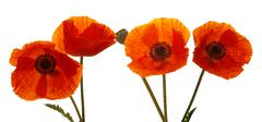 Four Poppies flowers isolated . - stock photo
