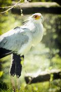 Secretary bird (Sagittarius serpentarius) watching around, animal theme Stock Photos