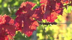Leaves of vine, red in end of october Stock Footage