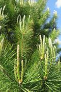 Young branches of scots pine (Pinus sylvestris) against a blue sky in the spr - stock photo