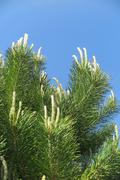 Stock Photo of Young branches of scots pine (Pinus sylvestris) against a blue sky in the spr