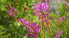 Pink flowers Fire weed in the mountain, Chamaenerion angustifolium Stock Footage