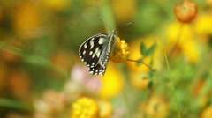 Butterfly White Admiral staying on yellow flower tutsan, Macro footage Stock Footage