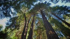 Tall Redwoods of Northern California Stock Footage
