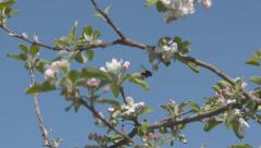 bumble bee amongst apple blossoms wide view - stock footage