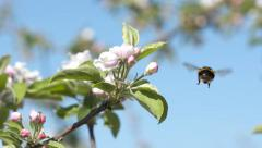 Bumble bee on apple blossoms and fly away slowmo Stock Footage